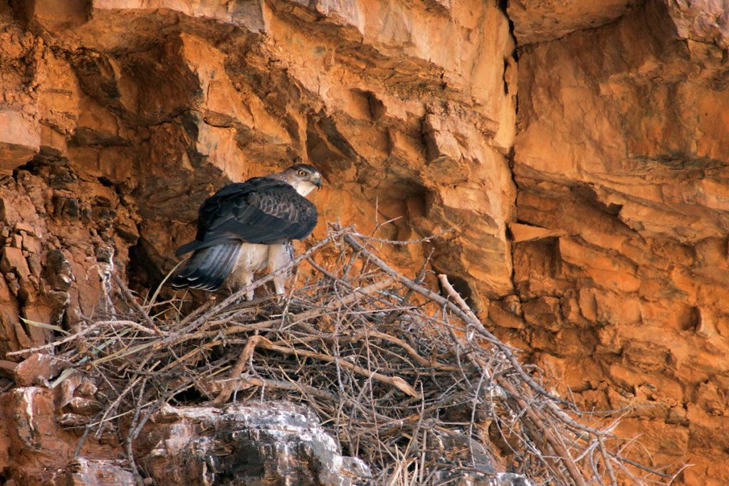 Habichtsadler, Aquila fasciata, Bonelli`s Eagle, vögel, birds, greifvögel, Accipitriformes, raptors, adler, eagle, nest, horst
