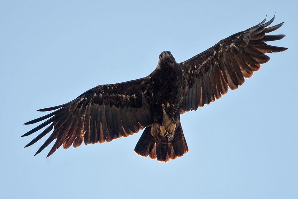 Kaiseradler, Aquila heliaca, Imparial Eagle, vögel, birds, greifvögel, Accipitriformes, raptors, adler, eagle, Östlicher Kaiseradler, flug, altvogel