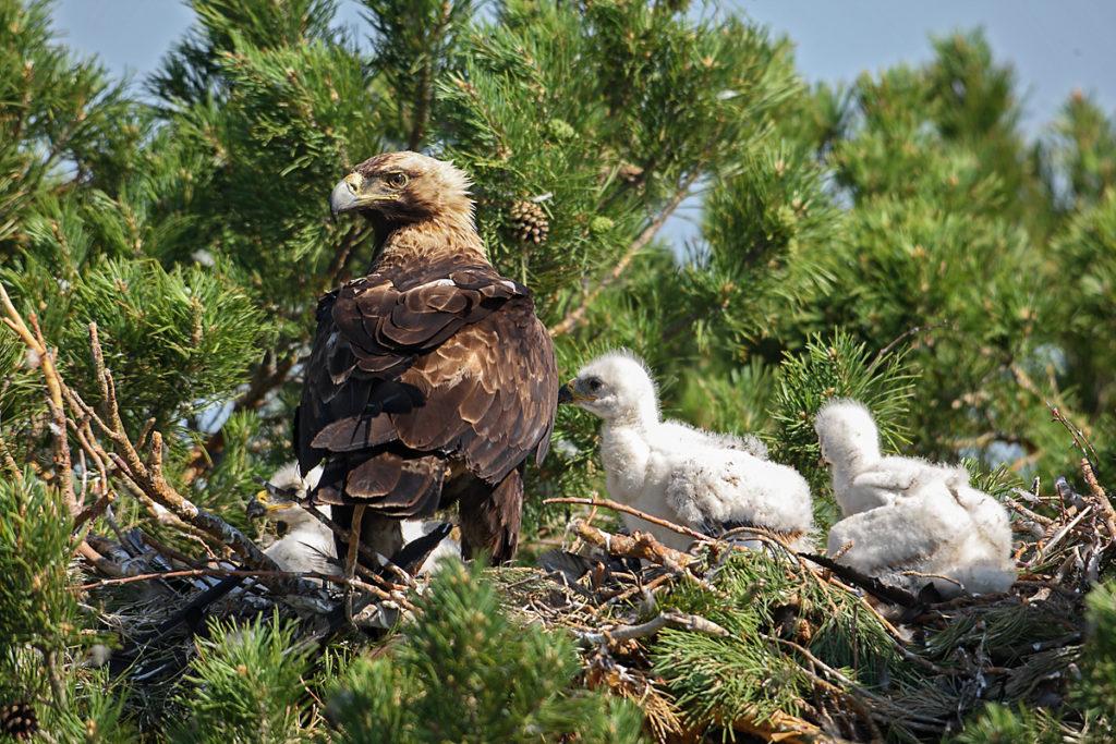 Kaiseradler, Aquila heliaca, Imparial Eagle, vögel, birds, greifvögel, Accipitriformes, raptors, adler, eagle, Östlicher Kaiseradler, horst, altvogel, jungvögel, nest