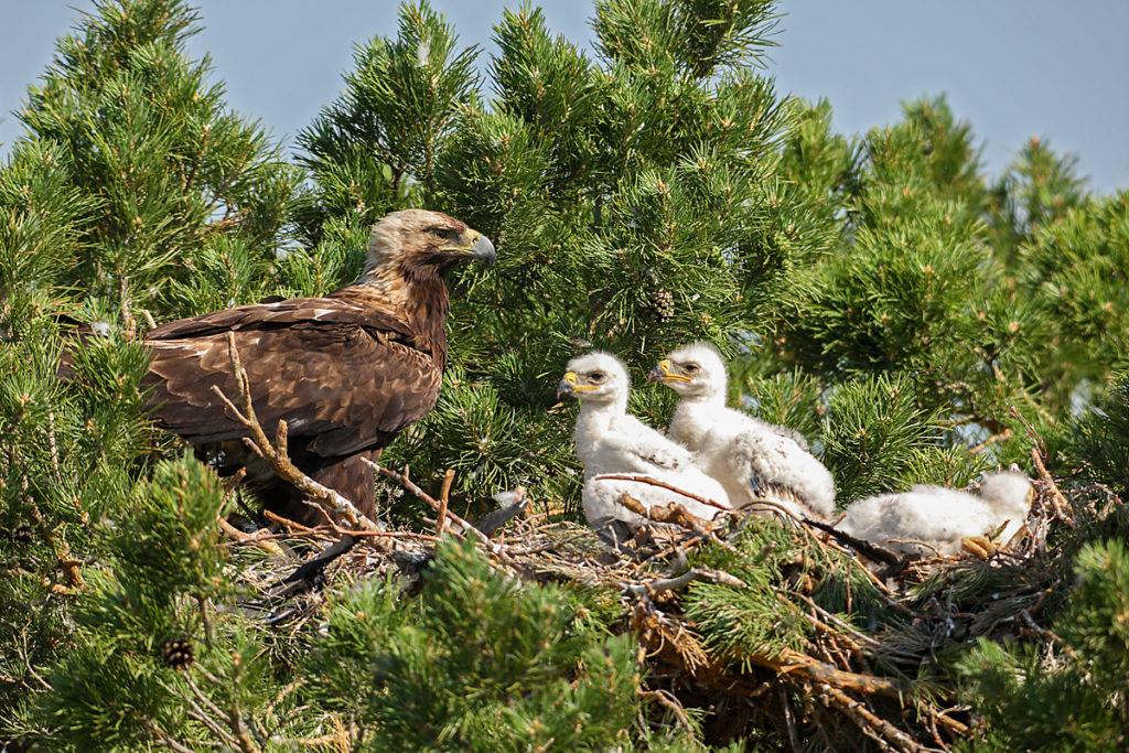 Kaiseradler, Aquila heliaca, Imparial Eagle, vögel, birds, greifvögel, Accipitriformes, raptors, adler, eagle, Östlicher Kaiseradler, horst, altvogel, jungvögel