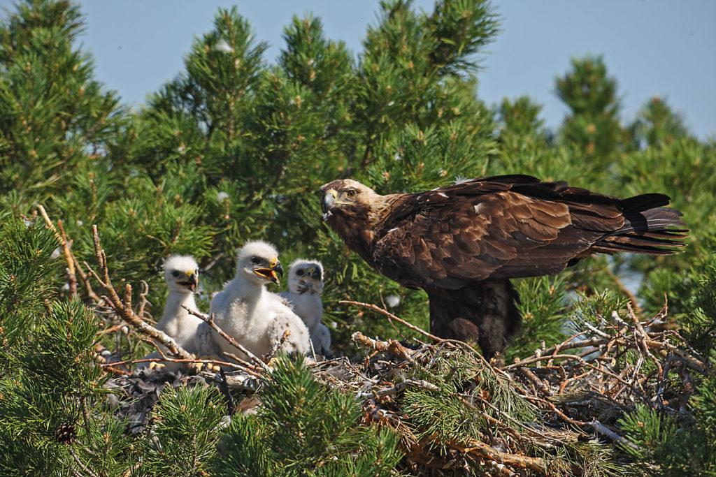 Kaiseradler, Aquila heliaca, Imparial Eagle, vögel, birds, greifvögel, Accipitriformes, raptors, adler, eagle, Östlicher Kaiseradler, horst, fütterung