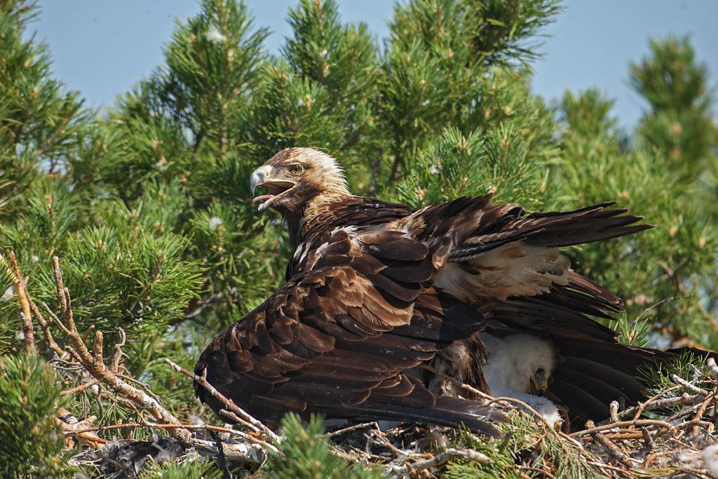 Kaiseradler, Aquila heliaca, Imparial Eagle, vögel, birds, greifvögel, Accipitriformes, raptors, adler, eagle, Östlicher Kaiseradler, horst, hudern