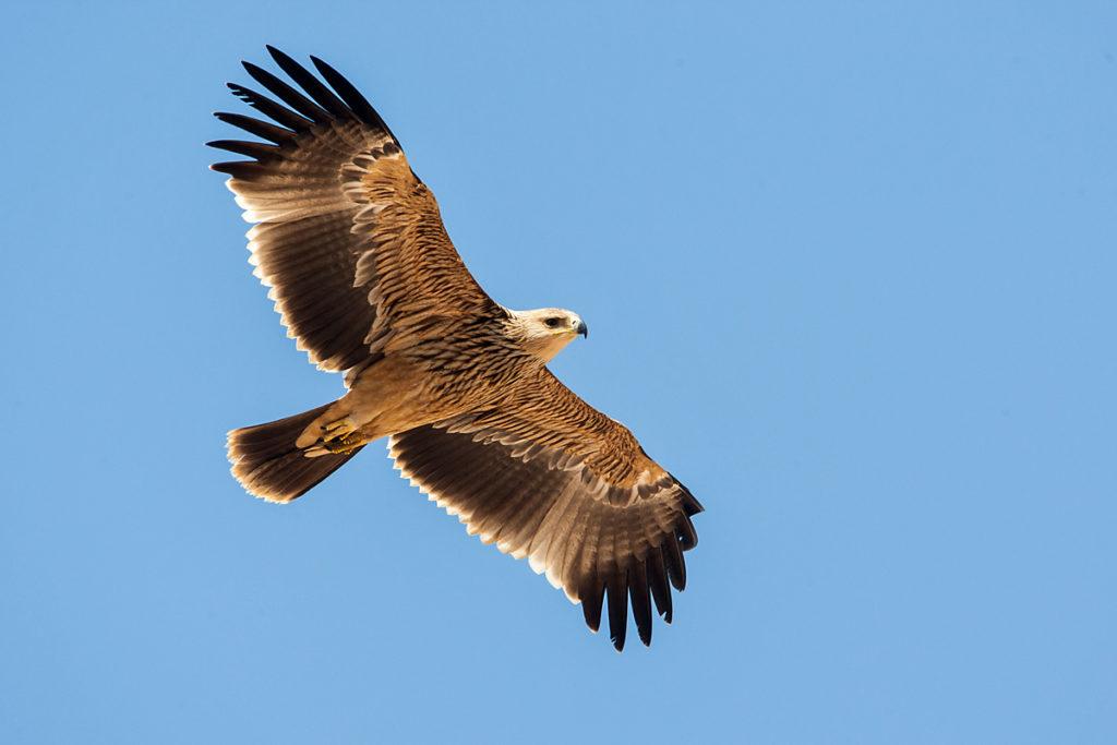 Kaiseradler, Aquila heliaca, Imparial Eagle, vögel, birds, greifvögel, Accipitriformes, raptors, adler, eagle, Östlicher Kaiseradler, flug, jungvogel
