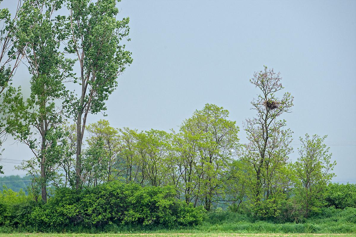 Kaiseradler, Aquila heliaca, Imparial Eagle, vögel, birds, greifvögel, Accipitriformes, raptors, adler, eagle, Östlicher Kaiseradler, nest, horst