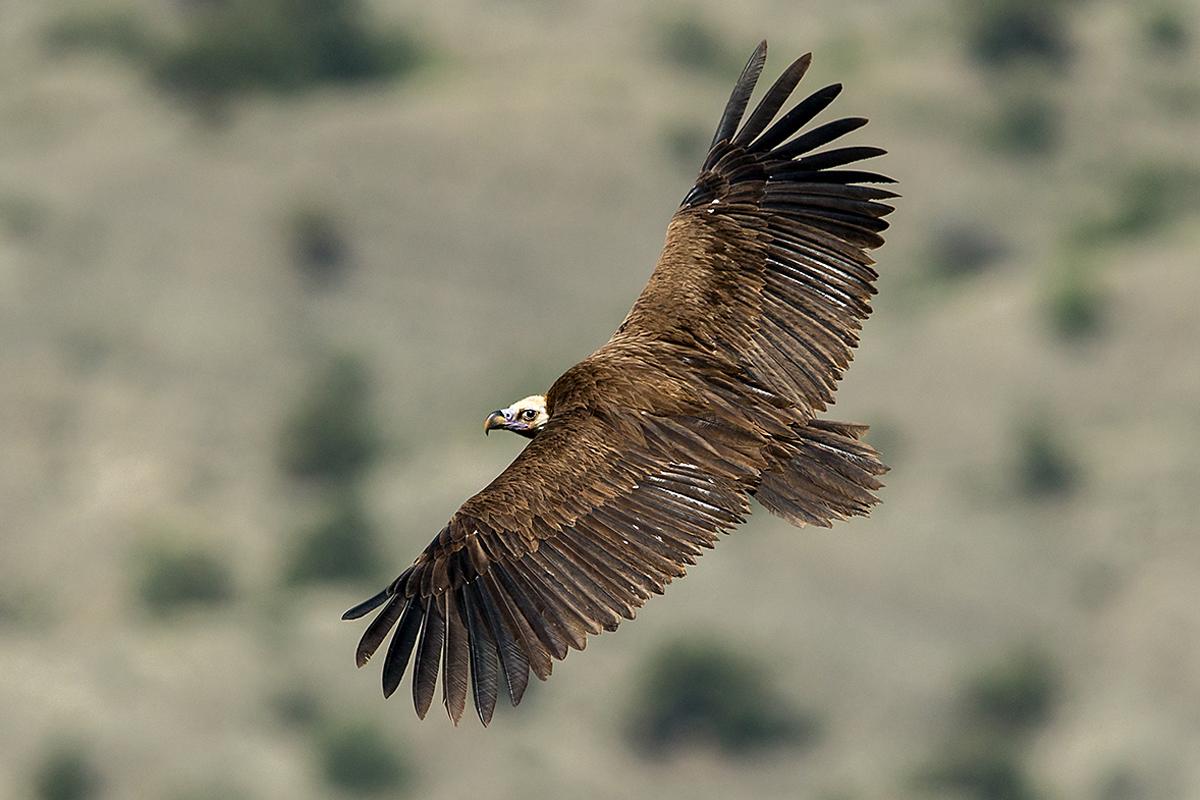 Mönchsgeier, Aegypius monachus, Black Vulture, greifvögel; Accipitriformes; raptors; geier; vögel; birds; vulture, flug, oberseite