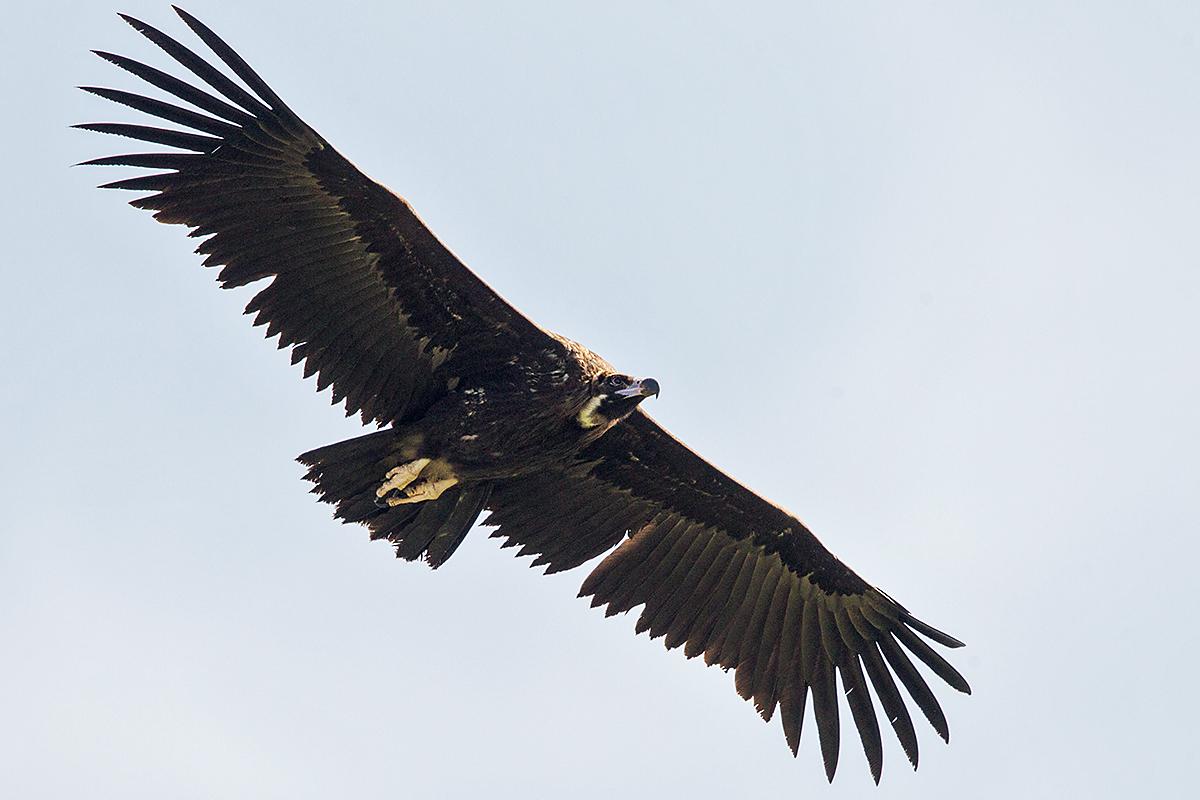 Mönchsgeier, Aegypius monachus, Black Vulture, greifvögel; Accipitriformes; raptors; geier; vögel; birds; vulture, flug, unterseite
