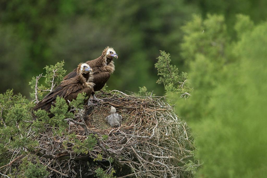 Mönchsgeier, Aegypius monachus, Black Vulture, greifvögel; Accipitriformes; raptors; geier; vögel; birds; vulture, nest, altvögel