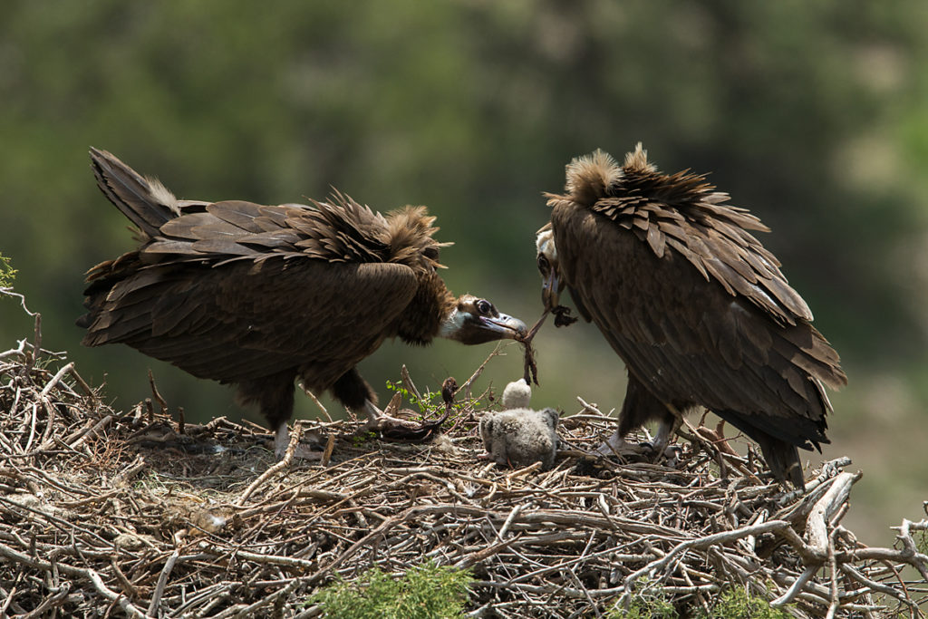 Mönchsgeier, Aegypius monachus, Black Vulture, greifvögel; Accipitriformes; raptors; geier; vögel; birds; vulture, nest, fütterung