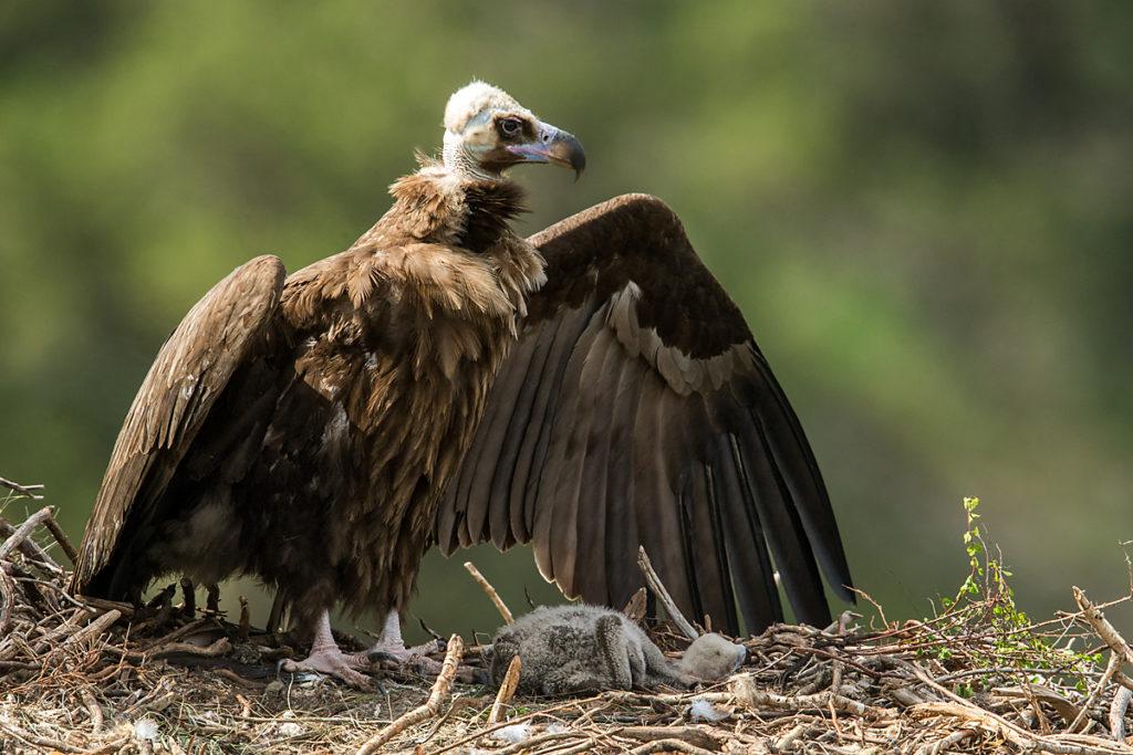 Mönchsgeier, Aegypius monachus, Black Vulture, greifvögel; Accipitriformes; raptors; geier; vögel; birds; vulture, nest, beschatten