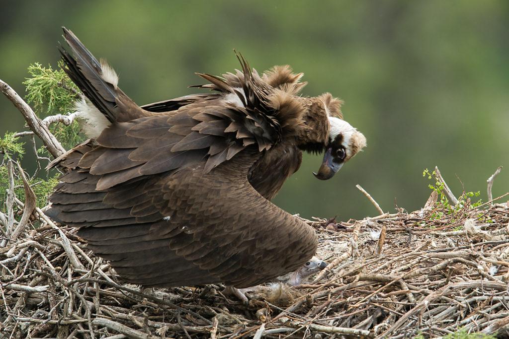Mönchsgeier, Aegypius monachus, Black Vulture, greifvögel; Accipitriformes; raptors; geier; vögel; birds; vulture, nest,