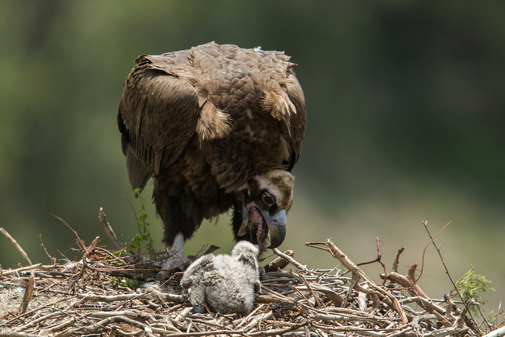 Mönchsgeier, Aegypius monachus, Black Vulture, greifvögel; Accipitriformes; raptors; geier; vögel; birds; vulture, nest, altvogel, fütterung