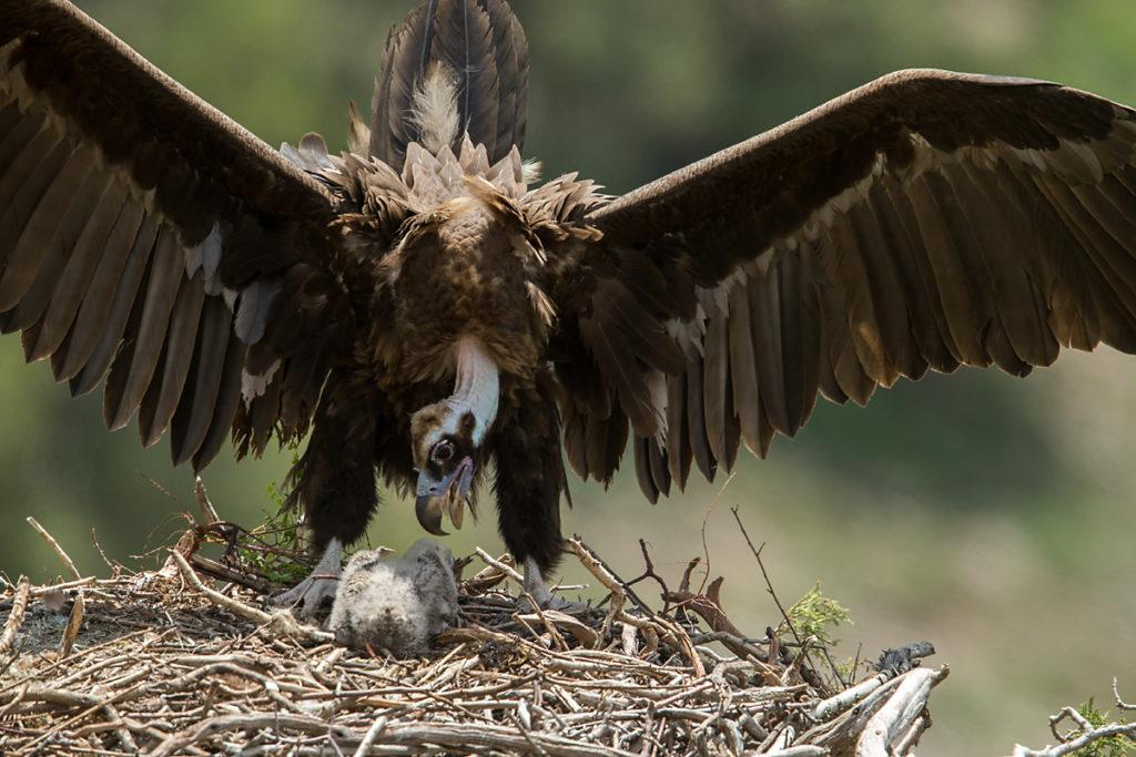 Mönchsgeier, Aegypius monachus, Black Vulture, greifvögel; Accipitriformes; raptors; geier; vögel; birds; vulture, nest, altvogel