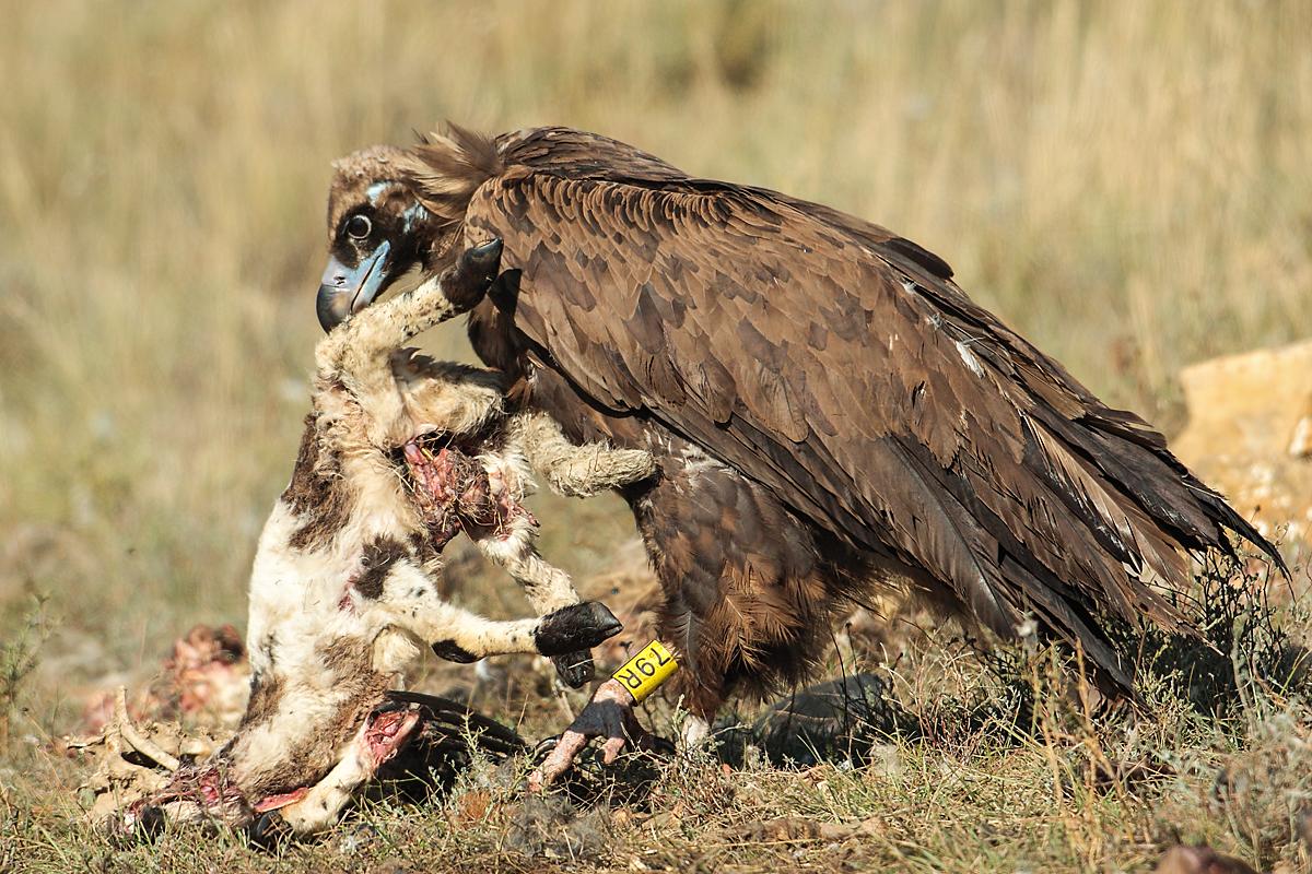Mönchsgeier, Aegypius monachus, Black Vulture, greifvögel; Accipitriformes; raptors; geier; vögel; birds; vulture, nahrung, Aas