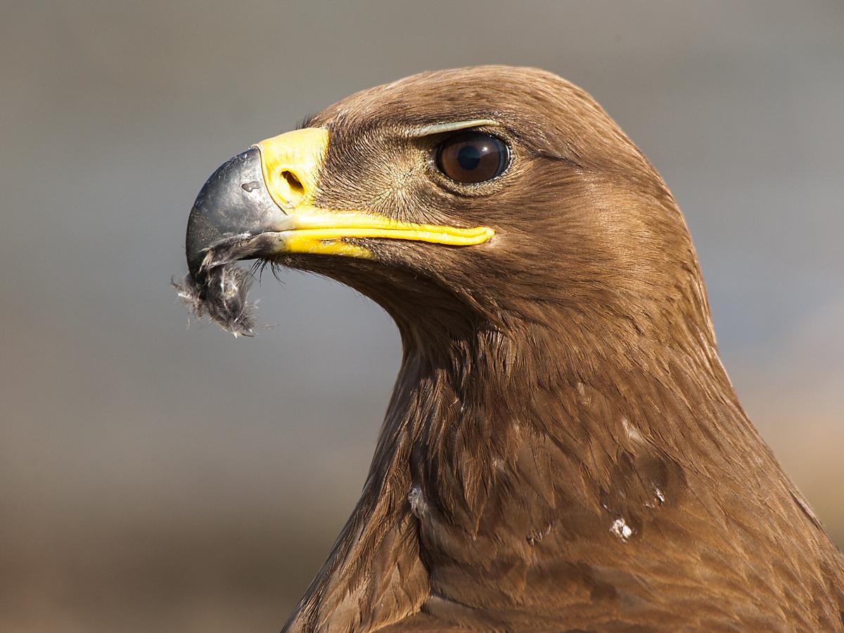 Steppenadler, Aquila nipalensis, Steppe Eagle, vögel, birds, greifvögel, Accipitriformes, raptors, adler, eagle