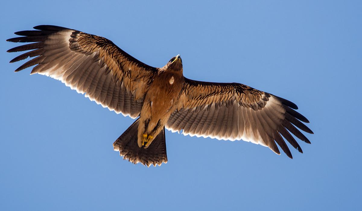 Schelladler, Aquila clanga, Spotted Eagle, vögel, birds, greifvögel, Accipitriformes, raptors, adler, eagle, flug
