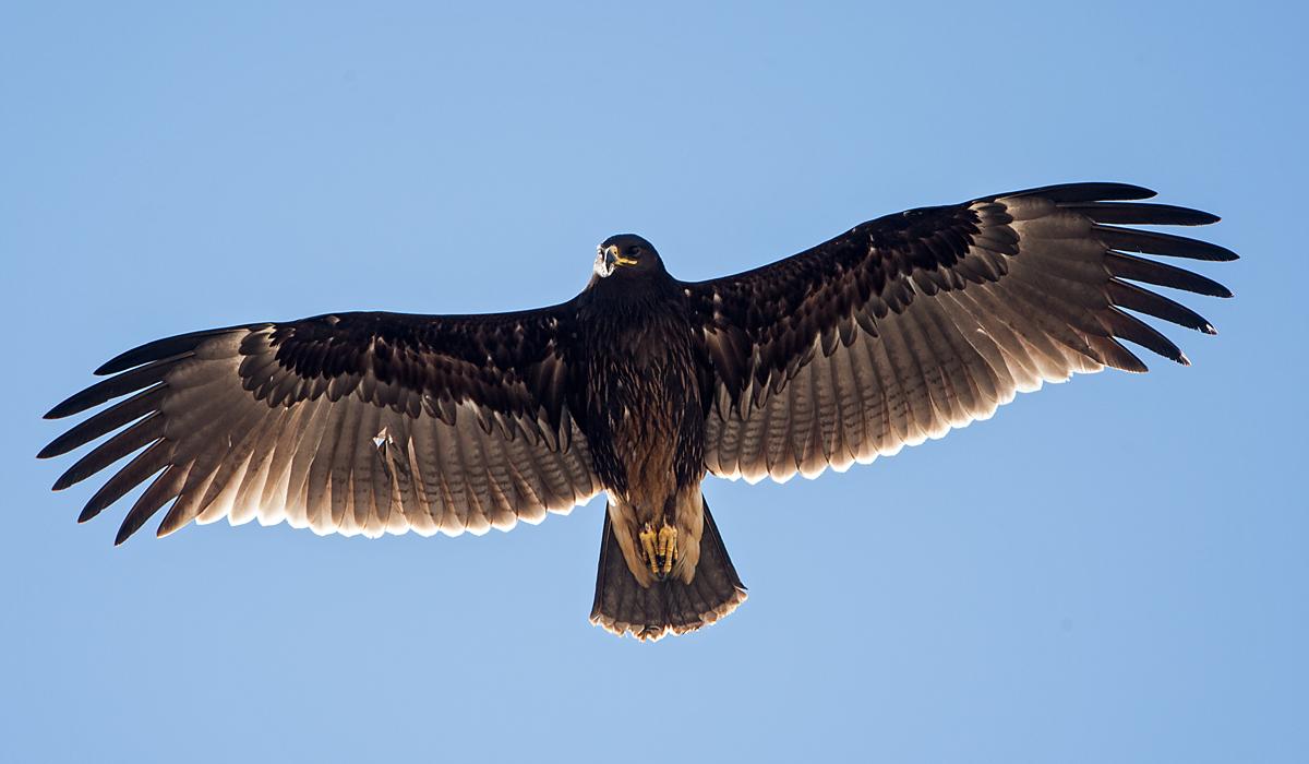 Schelladler, Aquila clanga, Spotted Eagle, vögel, birds, greifvögel, Accipitriformes, raptors, adler, eagle, fliegend
