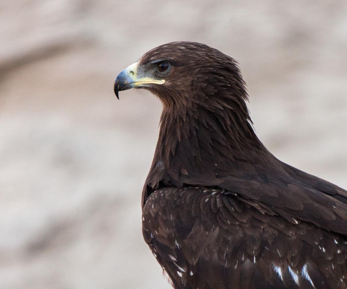 Schelladler, Aquila clanga, Spotted Eagle, vögel, birds, greifvögel, Accipitriformes, raptors, adler, eagle
