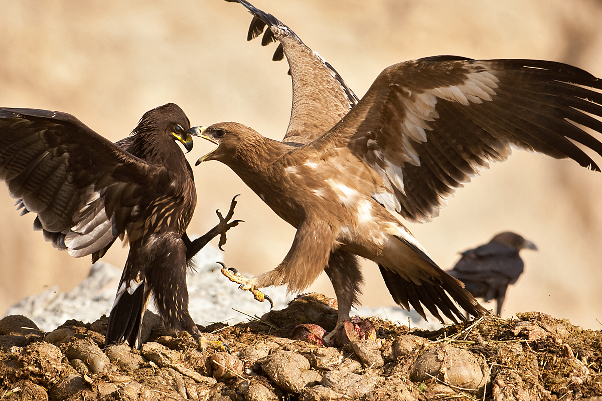Aquila clanga; Aquila nipalensis; Oman; Schelladler; Spotted Eagle; Steppe Eagle; Steppenadler; adler; battle; birds; eagle; falconiformes; fight; greifvögel; kampf; raptors; streit; vögel