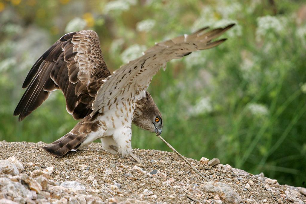Schlangenadler, Circaetus gallicus, Short-toed Eagle, vögel, birds, greifvögel, Accipitriformes, raptors, adler, eagle, jagd, beute, schlange