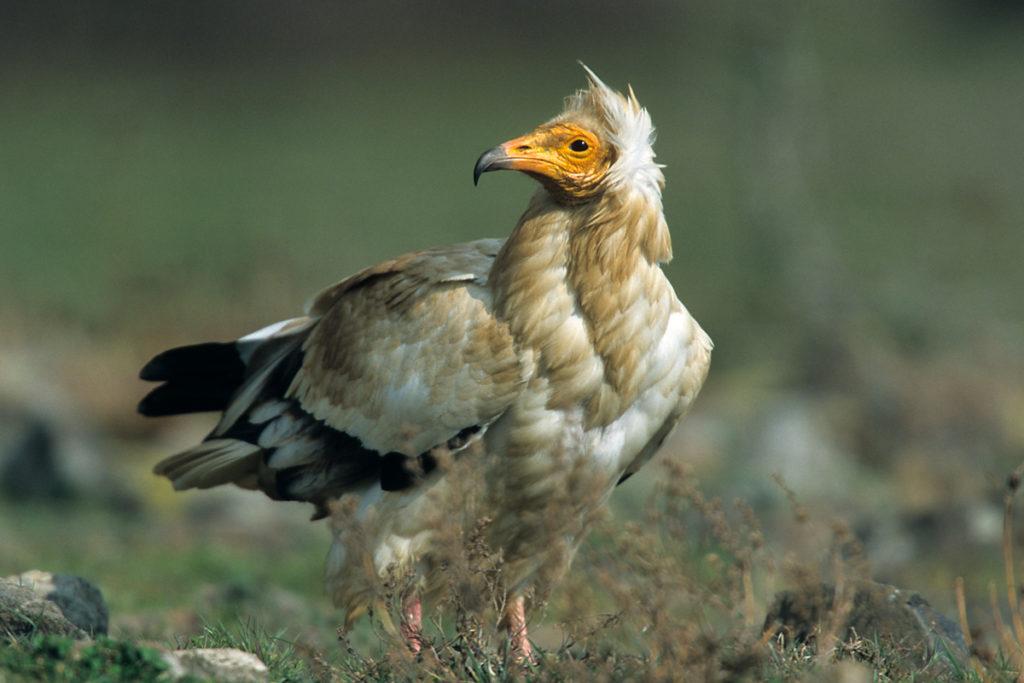 Schmutzgeier, Altvogel