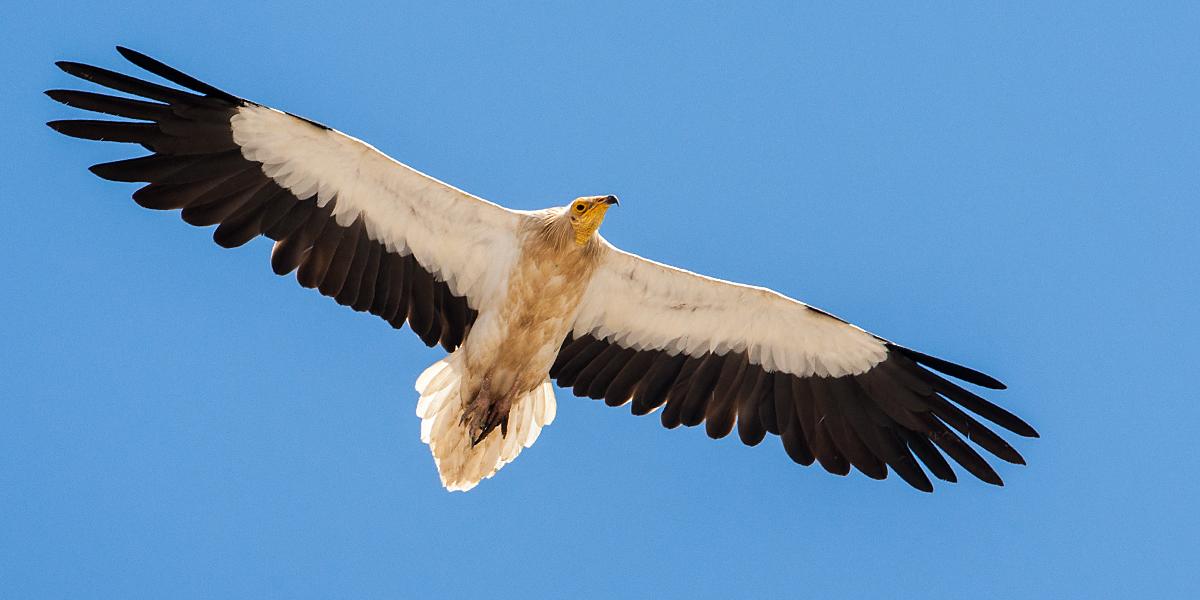 Schmutzgeier, Altvogel, Flug