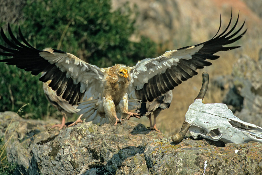 Schmutzgeier, Altvogel, knochen