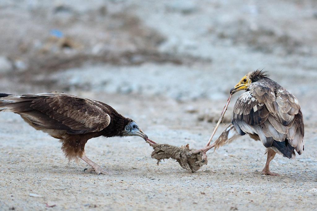 Schmutzgeier, Nahrung, Jungvogel