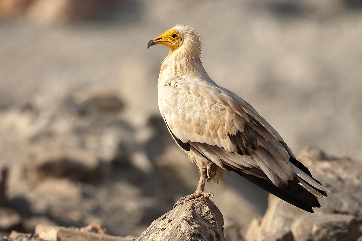 Egyptian Vulture; Neophron percnopterus; Schmutzgeier