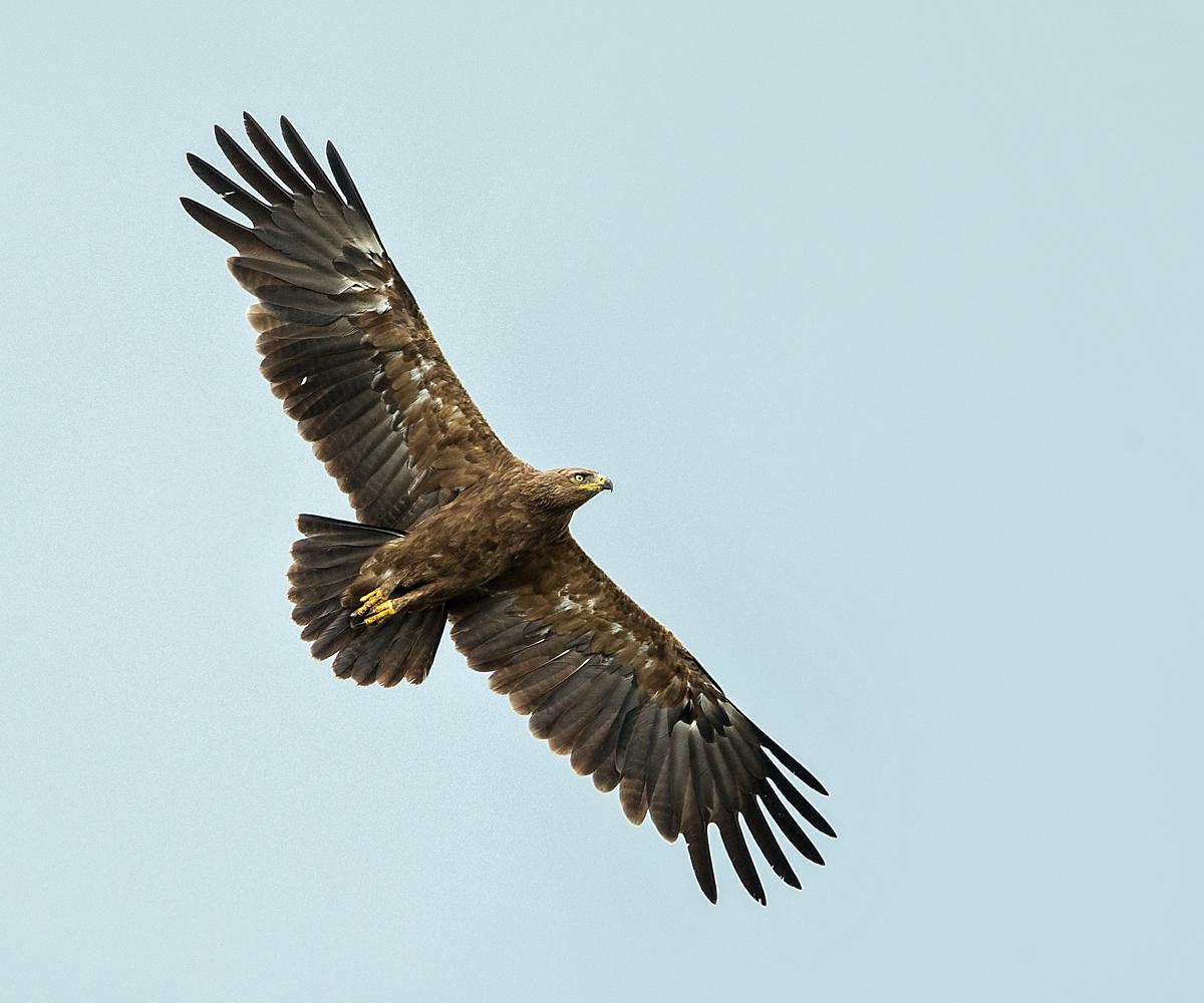 Schreiadler, Aquila pomarina, Lesser Spotted Eagle, vögel, birds, greifvögel, Accipitriformes, raptors, adler, eagle, flug