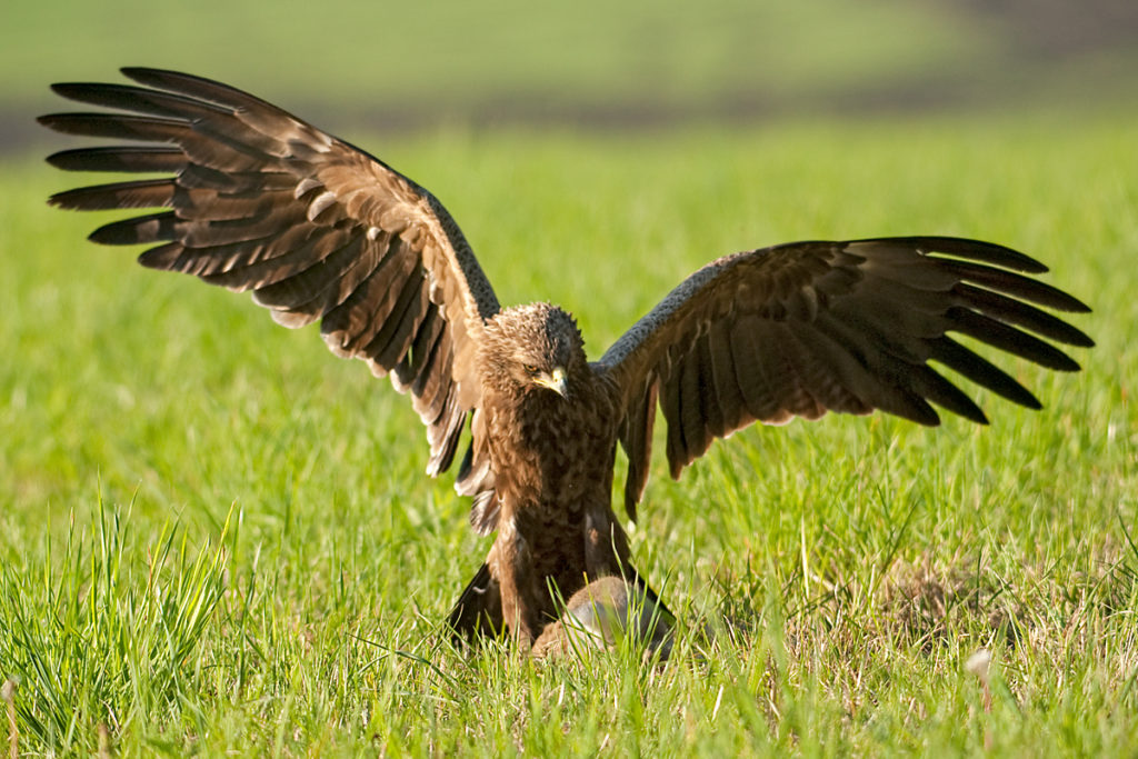 Schreiadler, Aquila pomarina, Lesser Spotted Eagle, vögel, birds, greifvögel, Accipitriformes, raptors, adler, eagle, jagd, beutefang