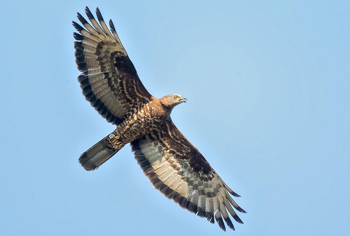 Wespenbussard, Altvogel, Flug, Honey Buzzard; Pernis apivorus