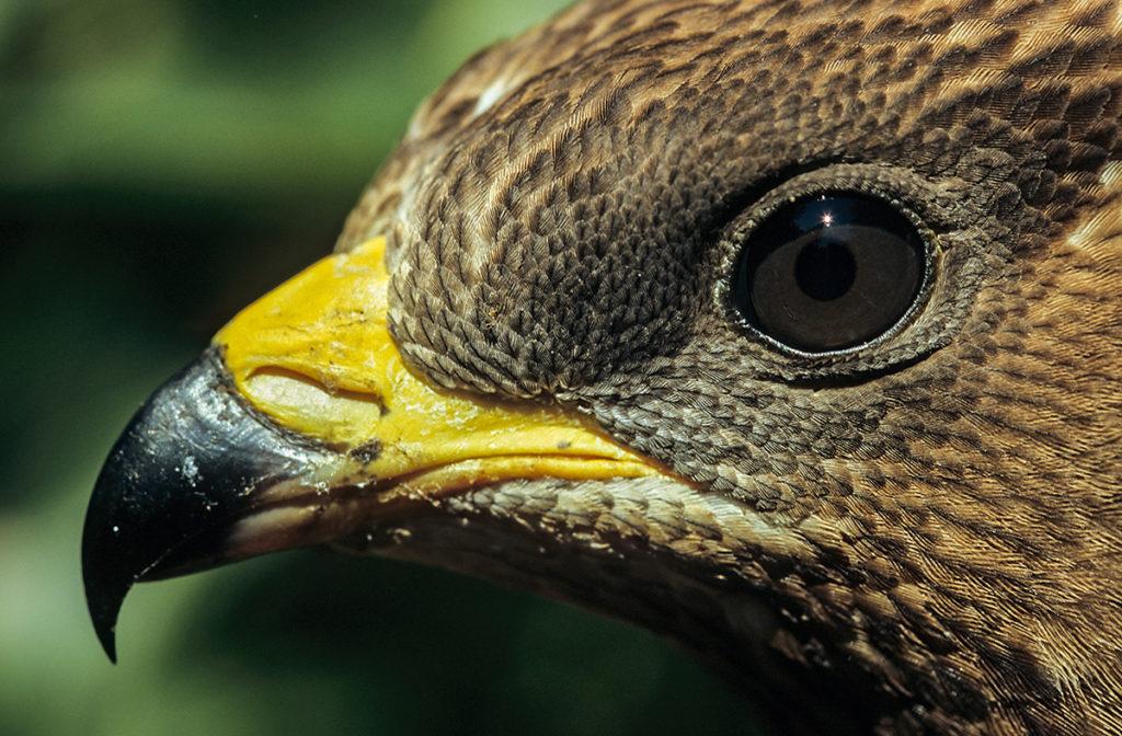 Accipitriformes; Honey Buzzard; Pernis apivorus; Wespenbussard, Auge, Schnabel