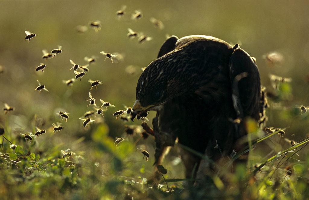 Accipitriformes; Honey Buzzard; Pernis apivorus; Wespenbussard, wespennest