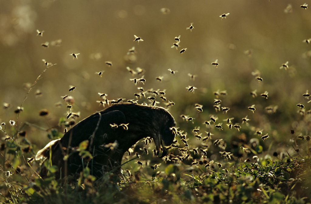 Accipitriformes; Honey Buzzard; Pernis apivorus; Wespenbussard