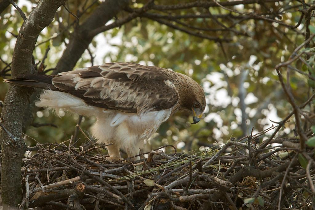 Zwergadler, Aquila pennata, Hieraaetus pennatus, Booted Eagle, greifvögel, Accipitriformes, raptors, vögel, birds, adler, eagle, nest, horst, altvogel