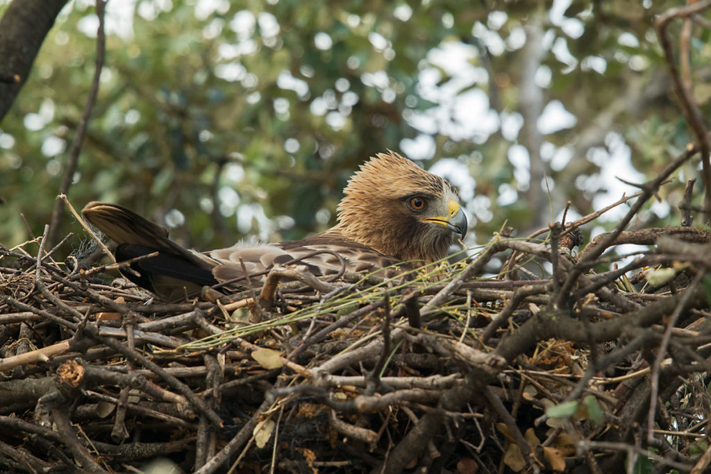 Zwergadler, Aquila pennata, Hieraaetus pennatus, Booted Eagle, greifvögel, Accipitriformes, raptors, vögel, birds, adler, eagle, nest, brut, brütend