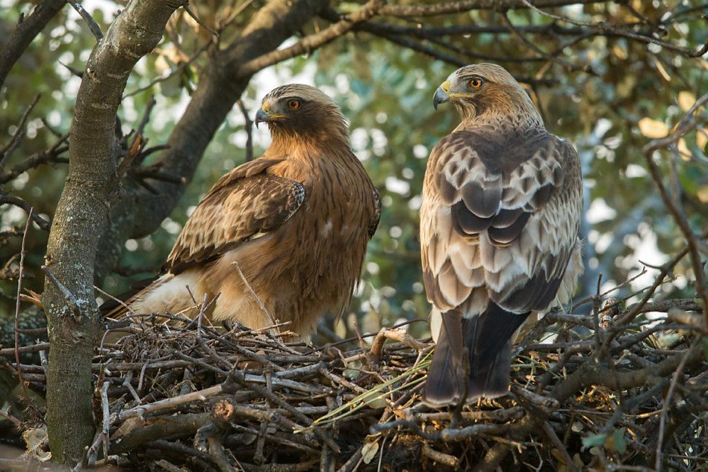 Zwergadler, Aquila pennata, Hieraaetus pennatus, Booted Eagle, greifvögel, Accipitriformes, raptors, vögel, birds, adler, eagle, nest, horst, paar