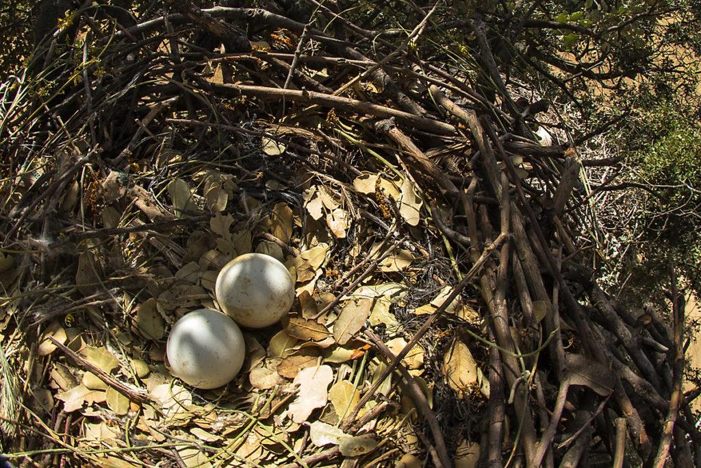 Zwergadler, Aquila pennata, Hieraaetus pennatus, Booted Eagle, greifvögel, Accipitriformes, raptors, vögel, birds, adler, eagle, nest, horst, gelege, eier