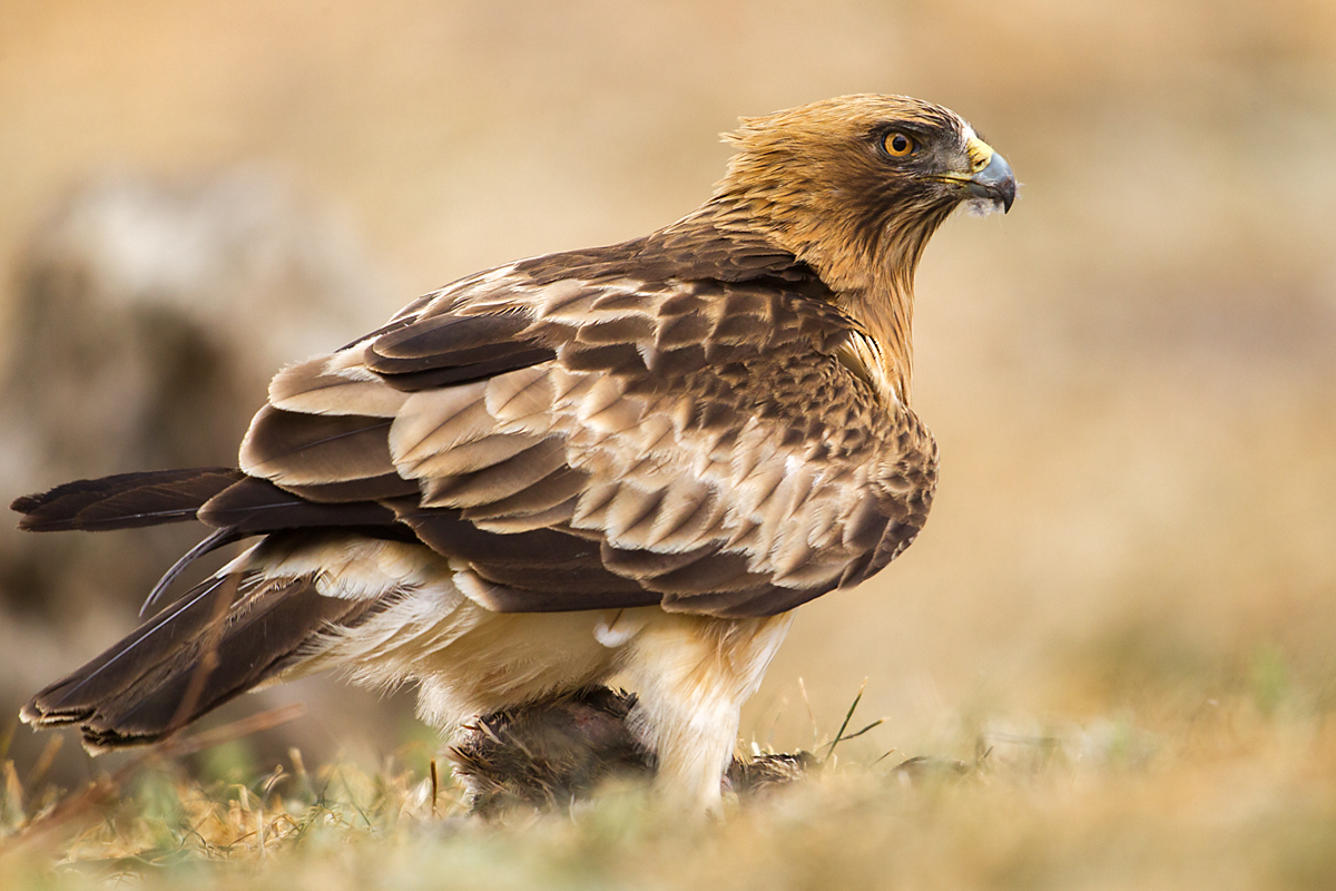 Zwergadler, Aquila pennata, Hieraaetus pennatus, Booted Eagle, greifvögel, Accipitriformes, raptors, vögel, birds, adler, eagle