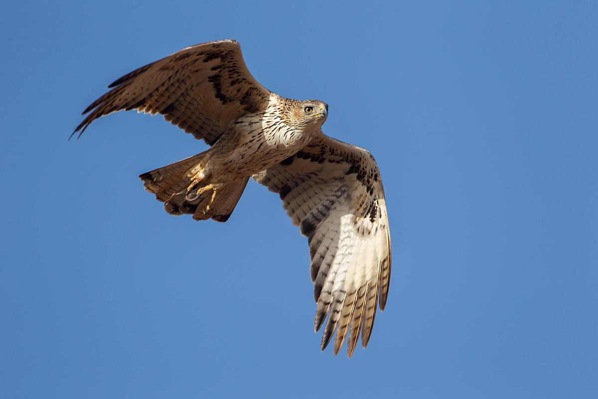 Habichtsadler, Aquila fasciata, Bonelli`s Eagle, vögel, birds, greifvögel, Accipitriformes, raptors, adler, eagle, flug, fliegend