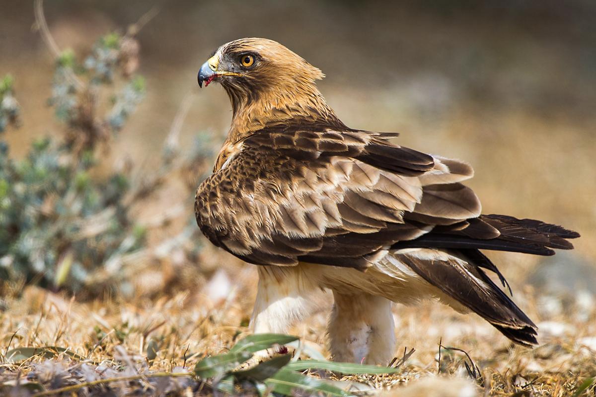Zwergadler, Aquila pennata, Hieraaetus pennatus, Booted Eagle, greifvögel, Accipitriformes, raptors, vögel, birds, adler, eagle, adult, altvogel