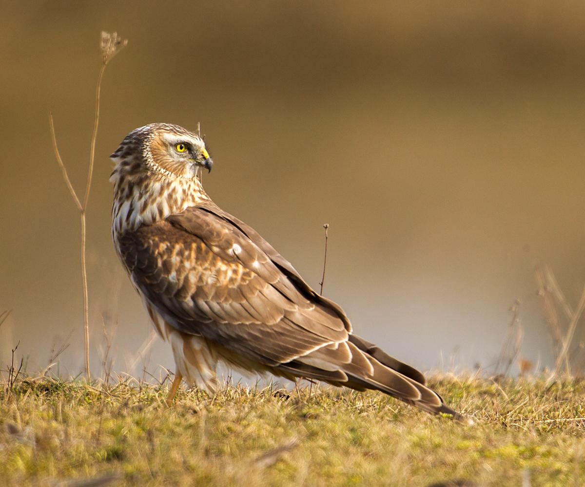 Kornweihe, Circus cyaneus, Hen Harrier, vögel, birds, greifvögel, Accipitriformes, raptors, weibchen