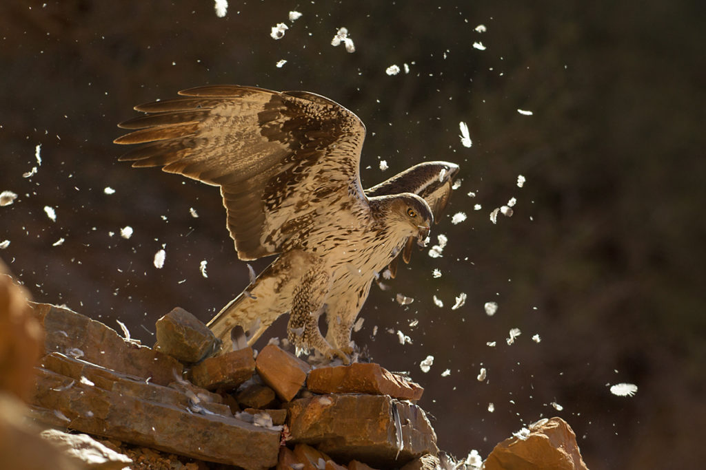 Habichtsadler, Aquila fasciata, Bonelli`s Eagle, vögel, birds, greifvögel, Accipitriformes, raptors, adler, eagle, jadg, beute