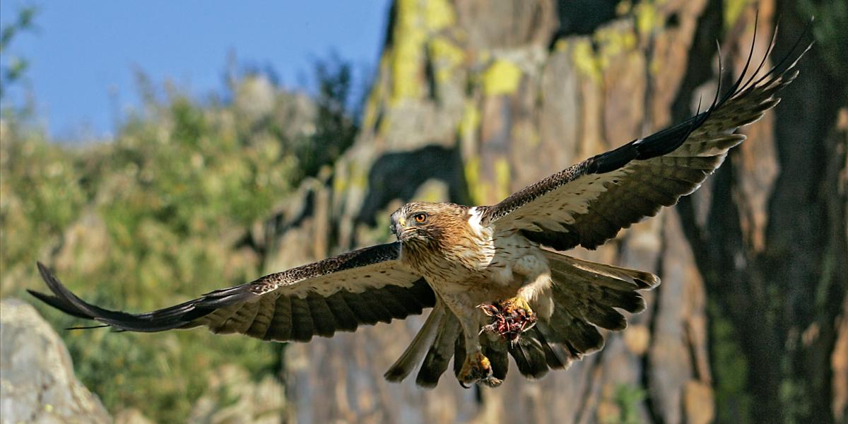 Zwergadler, Aquila pennata, Hieraaetus pennatus, Booted Eagle, greifvögel, Accipitriformes, raptors, vögel, birds, adler, eagle, flug, fliegend, beute