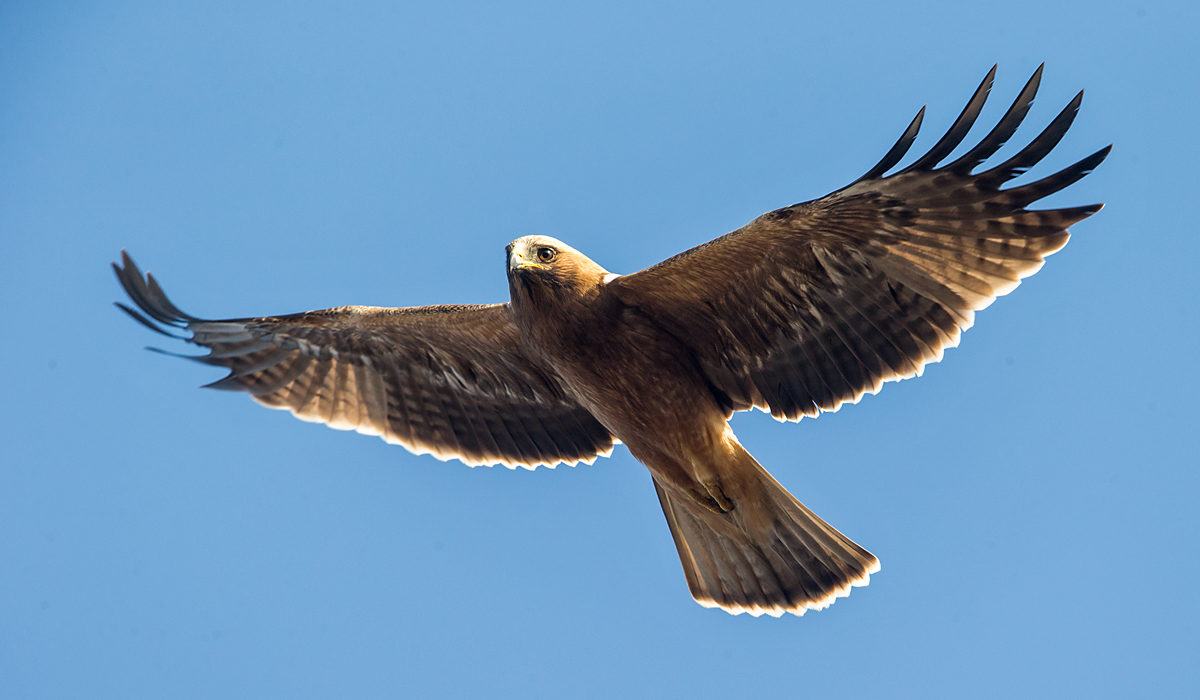 Zwergadler, Aquila pennata, Hieraaetus pennatus, Booted Eagle, greifvögel, Accipitriformes, raptors, vögel, birds, adler, eagle, flug, fliegend