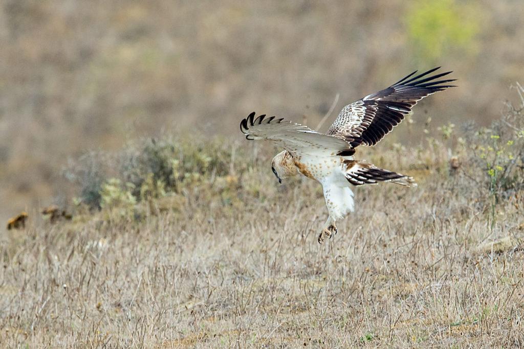Schlangenadler, Circaetus gallicus, Short-toed Eagle, vögel, birds, greifvögel, Accipitriformes, raptors, adler, eagle, flug, fliegend