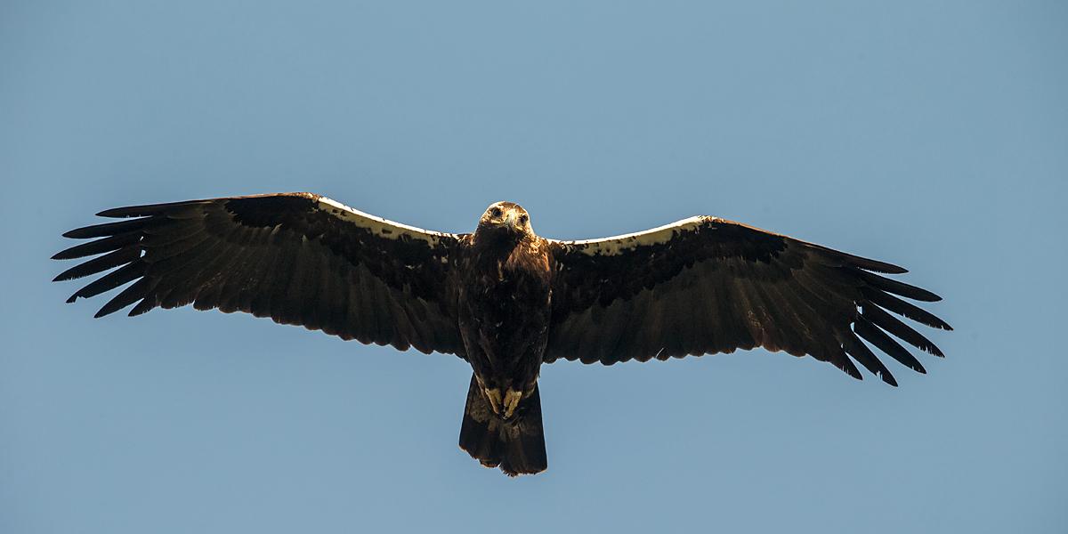 Spanischer Kaiseradler, Aquila adalberti, Spanish Imperial Eagle, Iberian Imperial Eagle, Adalbert's Eagle, greifvögel, Accipitriformes, raptors, vögel, birds, flug, flugbild