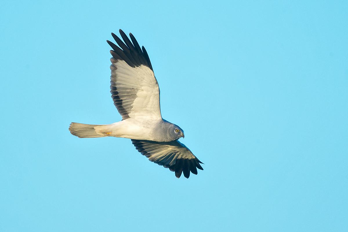 Kornweihe, Circus cyaneus, Hen Harrier, vögel, birds, greifvögel, Accipitriformes, raptors, Männchen, flug, fliegend