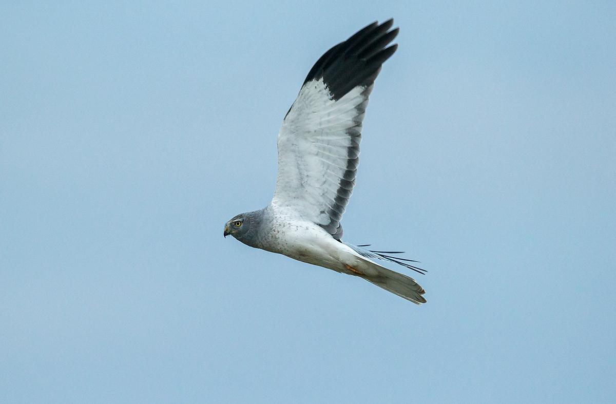 Kornweihe, Circus cyaneus, Hen Harrier, vögel, birds, greifvögel, Accipitriformes, raptors, männche, flug, fliegend