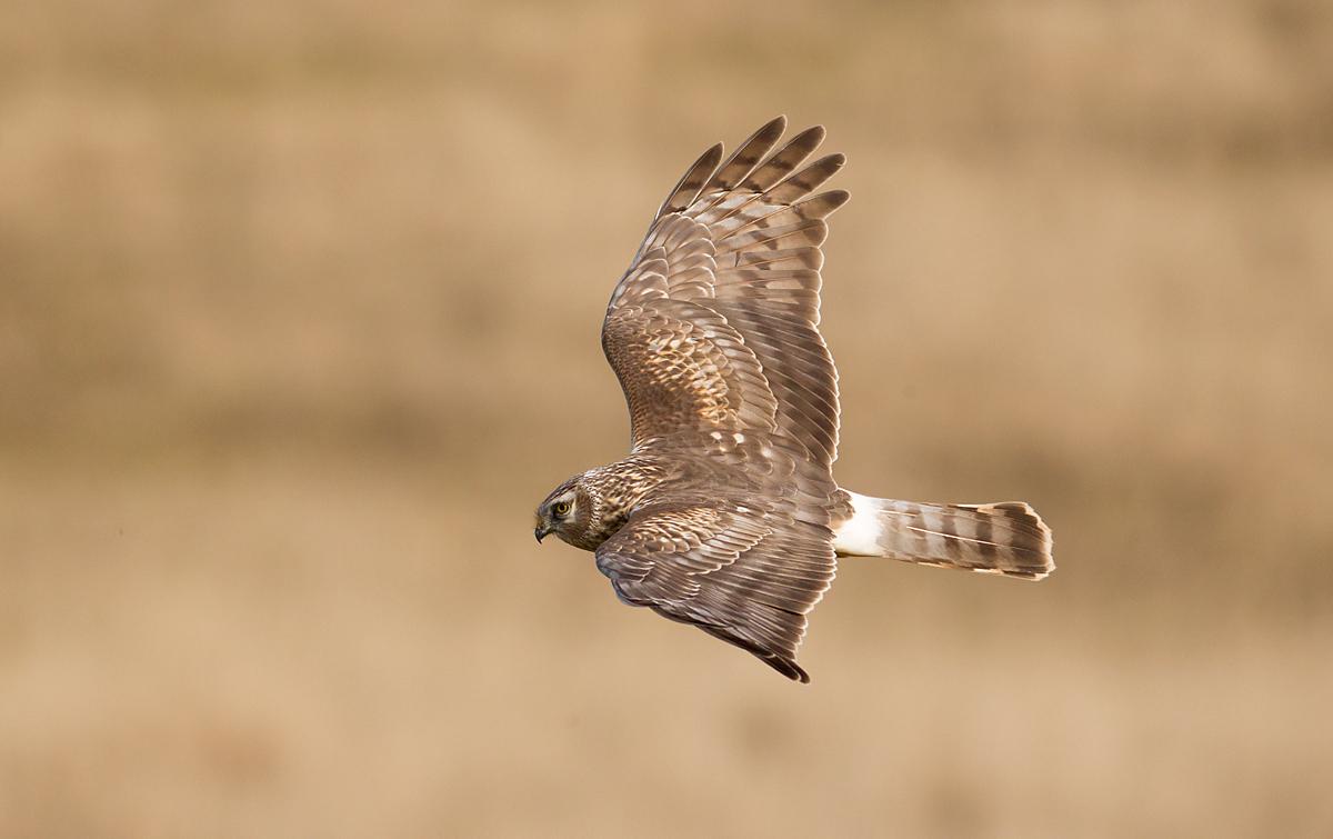 Kornweihe, Circus cyaneus, Hen Harrier, vögel, birds, greifvögel, Accipitriformes, raptors, weibchen, flug, fliegend